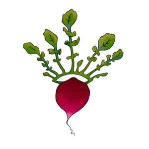 illustration of a radish with a leaf crown