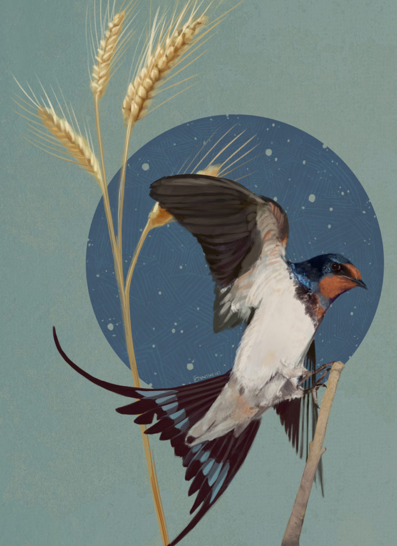 barn swallow with graphic impression of stars and wheat behind it